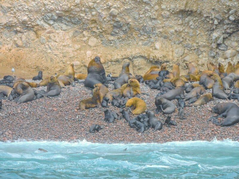 Isas Ballestas Peru sea lions sunbathing