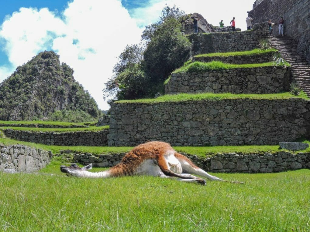Machu Picchu Peru Llamas