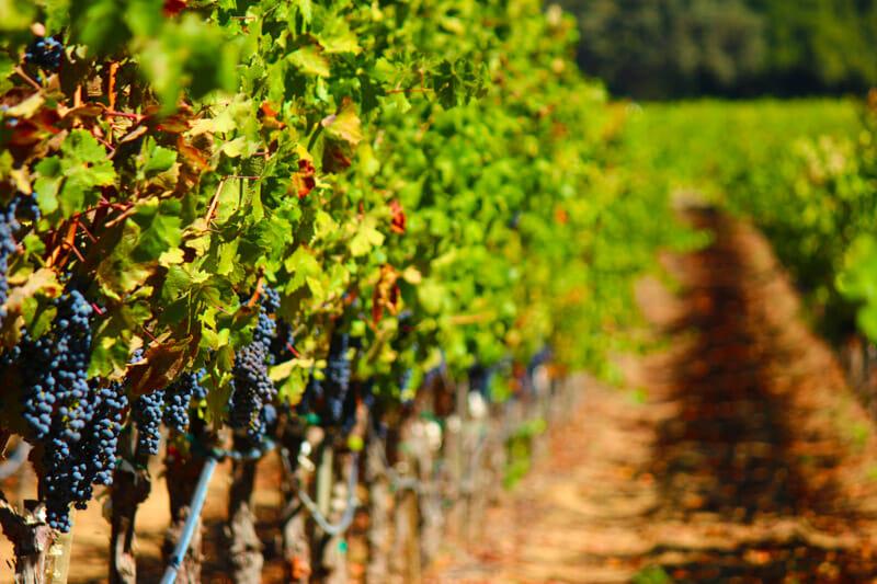 Wine vineyard, grapes on vine