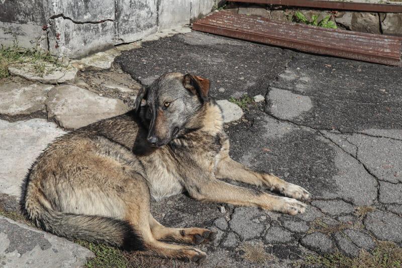 Dogs Chernobyl Ukraine