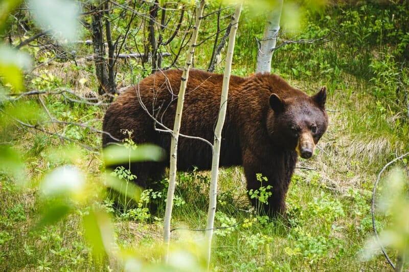 Cinnamon Bear Jasper