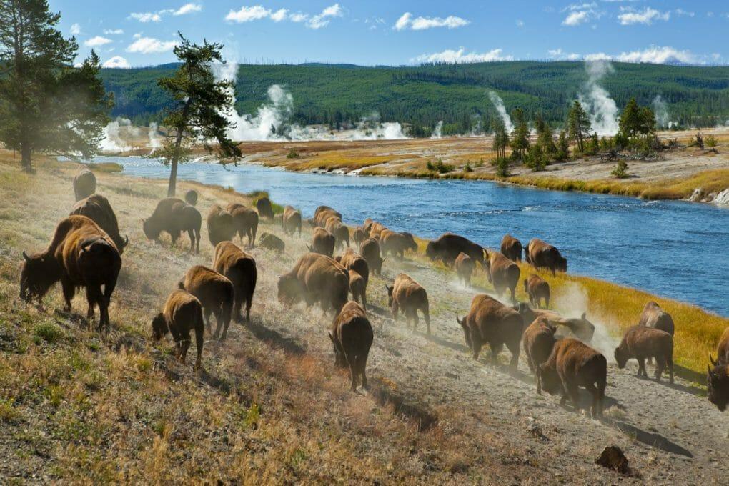Herd of bison in Montana