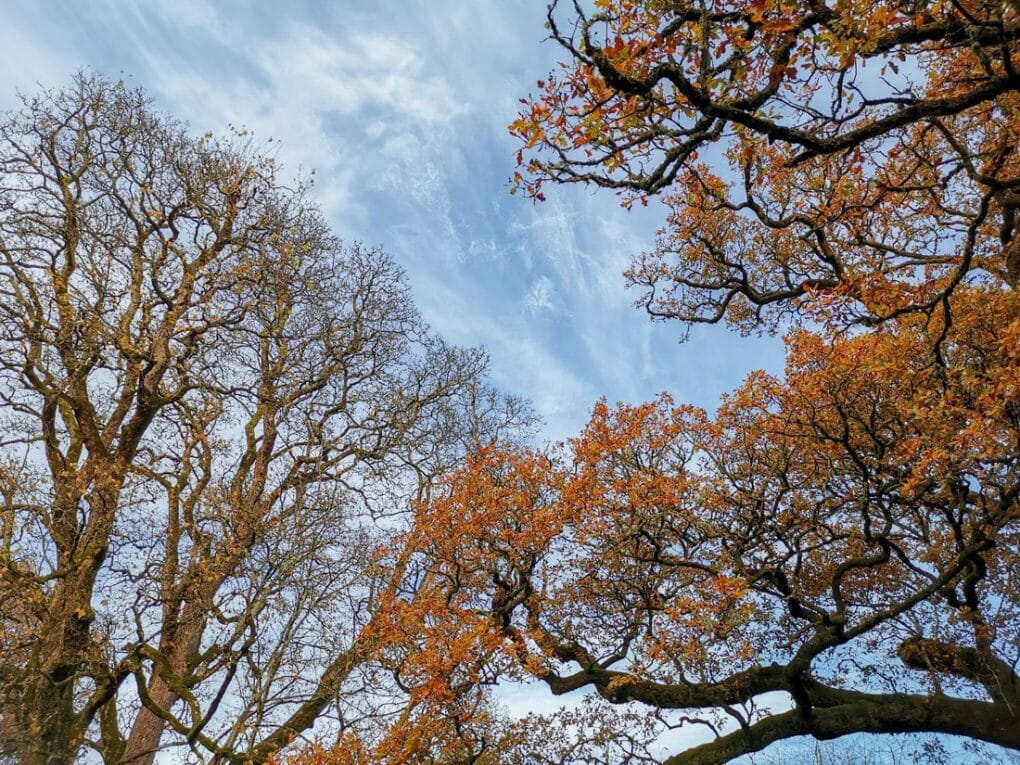 Dunkeld oldest tree The Birnam Oak with blues skies and orange leaves