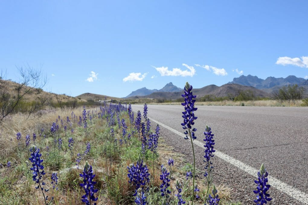 Big Bend National Park Road Bluebonnets