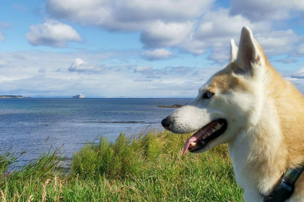 Bass Rock Dunbar Scotland Bowie Dog
