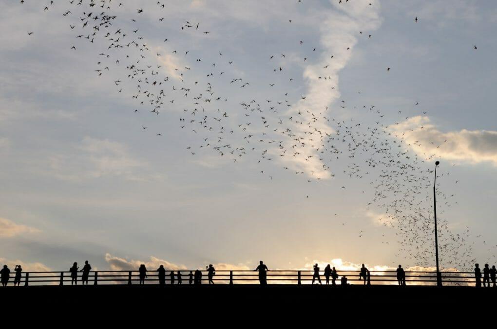 Congress Avenue Bridge bats. Austin. Sunset with crowds