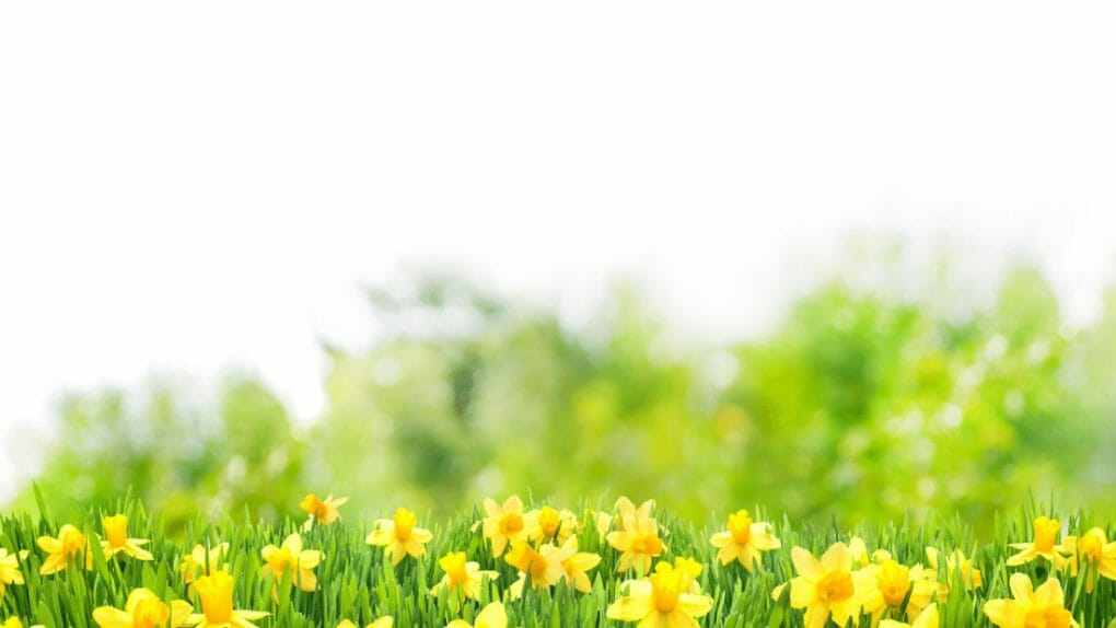 Spring flowers in field Easter Zoom Backgrounds