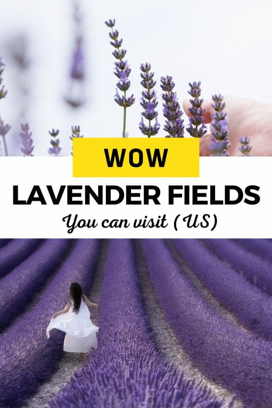 Hand touching rows of lavender and girl in white dress running through lavender field.