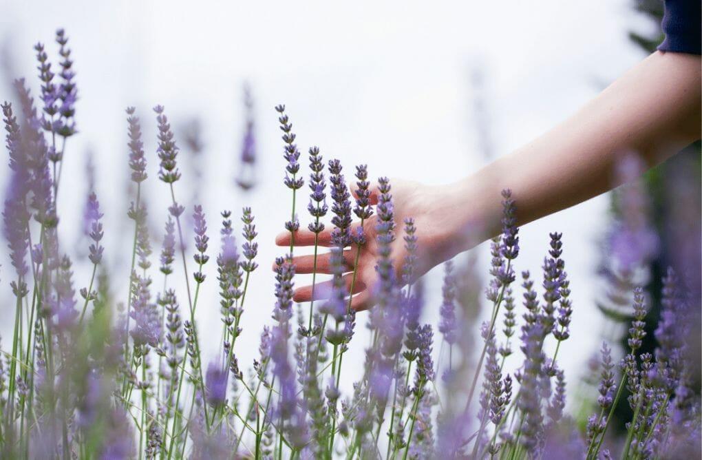 Lavender Fields in the USA - fan running along purple lavender