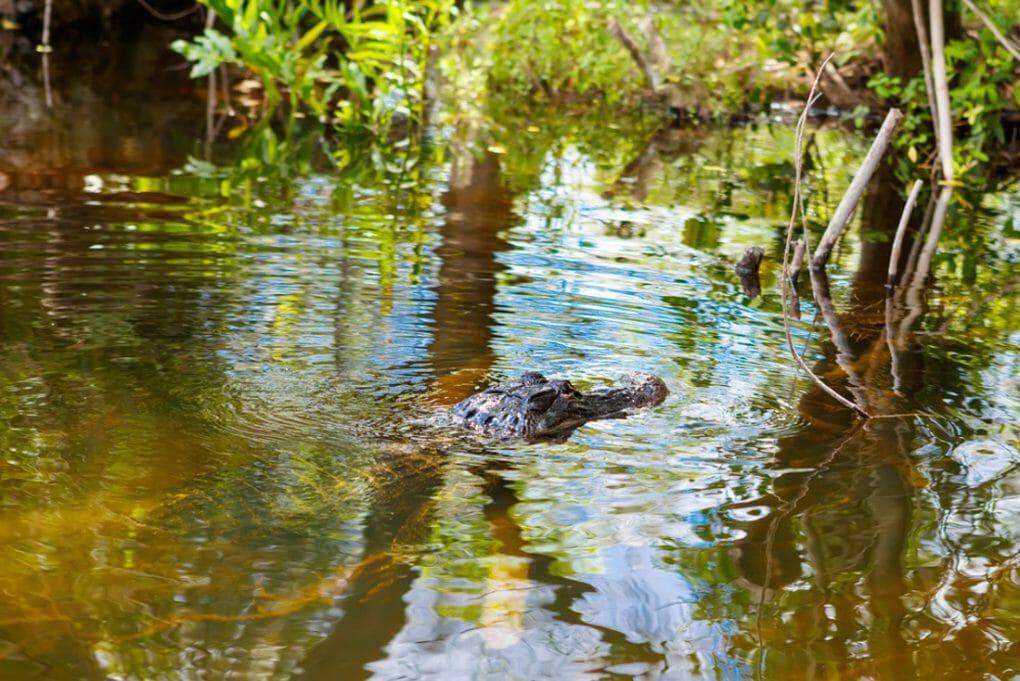 American Alligator in Florida Wetland. Everglades National Park