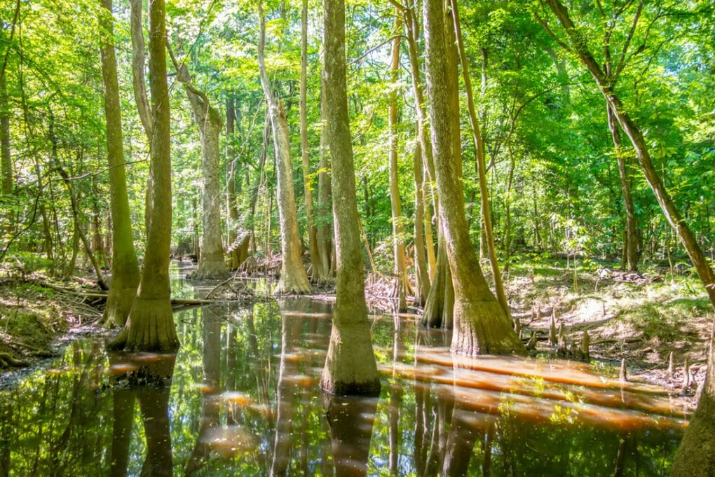 Cypress forest and swamp of Congaree National Park in South Caro