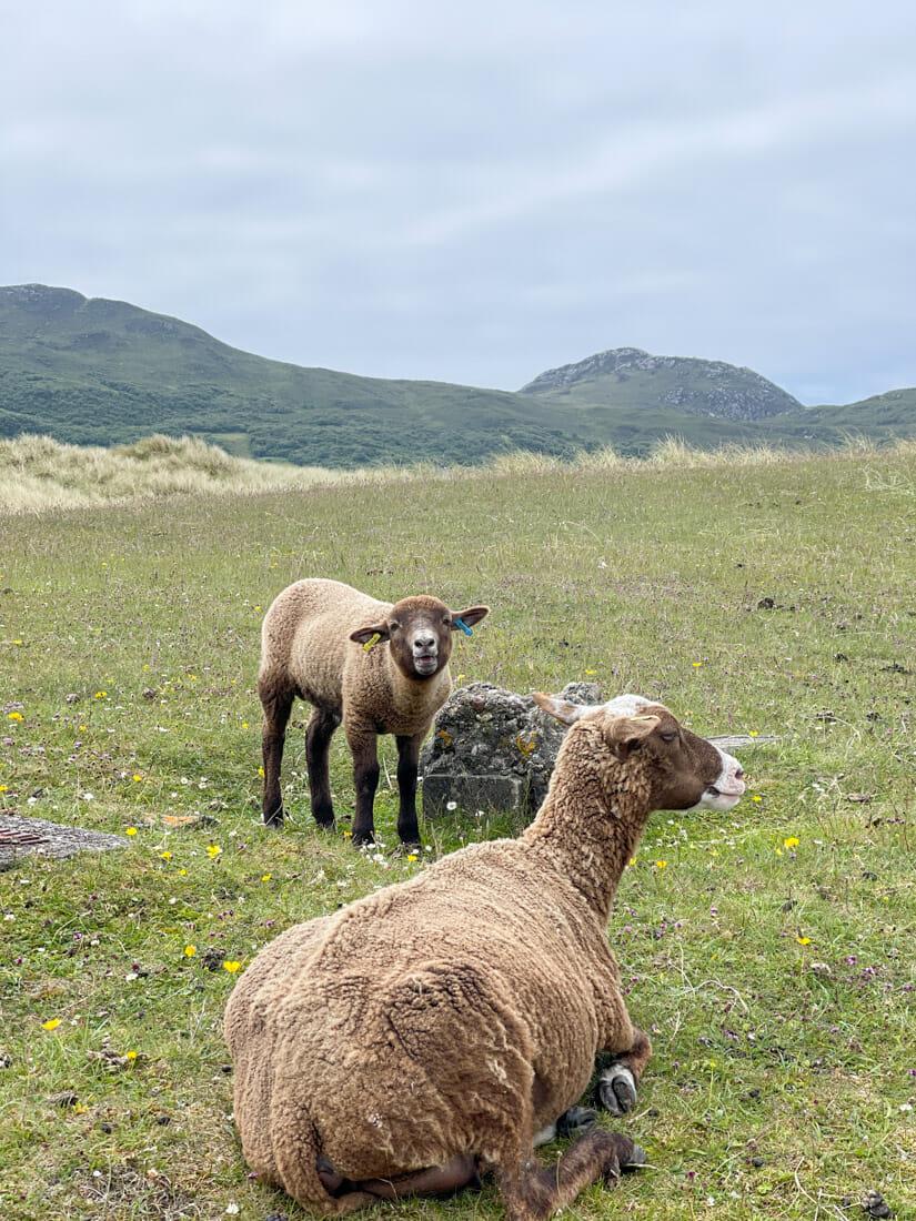 Sanna Beach Lamb Sheep Ardnamurchan Scotland